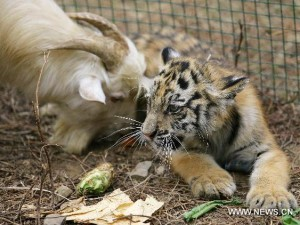 Tiger Plays with Goat which was meant to be Eaten